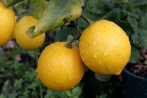 640px-Pair_of_lemons