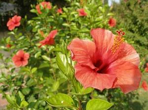 Hibiskus_flowers