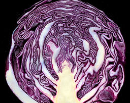 Red_cabbage_cross_section_02